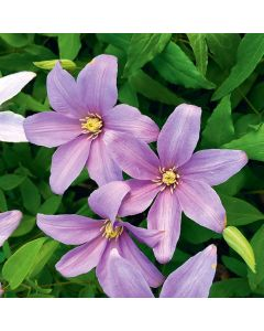 Clematis 'Blue Musk'