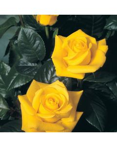 Gift Rose 'Golden Wedding' 4L