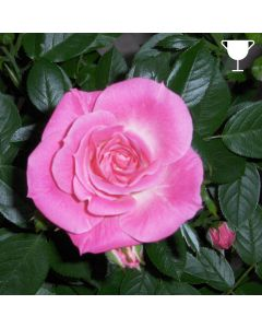 Patio Rose 'Carefree Days' 3L