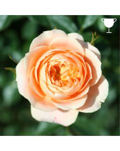 Patio Rose 'Sweet Dream' 3L