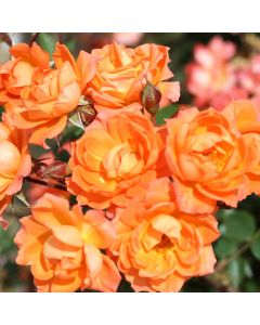 Patio Rose 'Wildfire' 3L