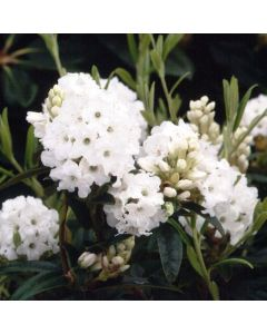 Rhododendron 'Arctic Tern' 3L