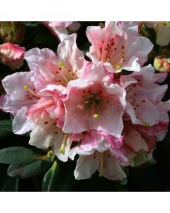 Rhododendron 'Wee Bee' 3L