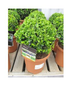 Buxus sempervirens Small Ball 19cm