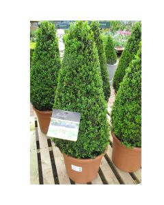 Buxus sempervirens Large Pyramid 30cm