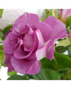 Bush Rose 'Blue For You' 4L